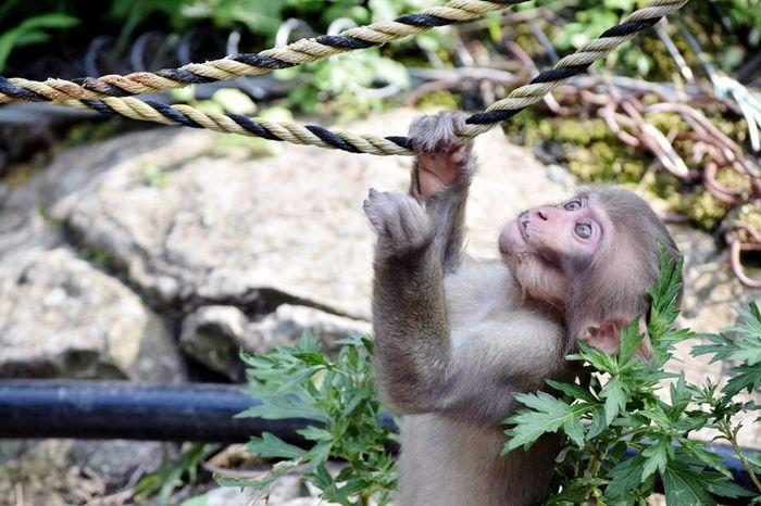 Snow monkey hanging on rope. Snow Monkey Japan Rope Tree Close-up Plant Monkey Primate Zoo