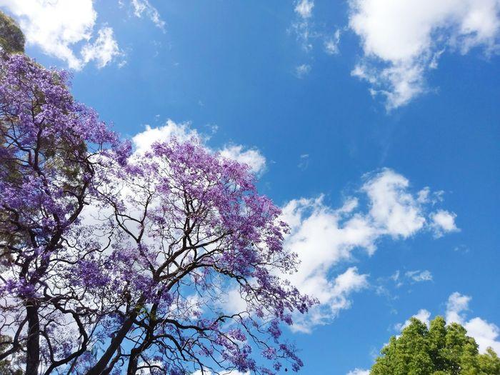 Sydney tree Tree Sydney Tree Australia Tree Purple Tree Purple Tree Blue Sky