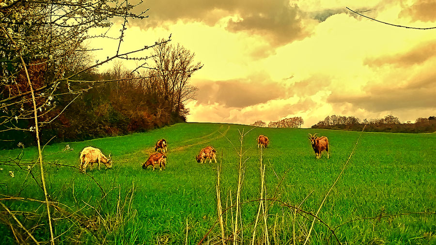 Ziegen Auf Der Weide Animal Themes Beauty In Nature Day Domestic Animals Field Grass Green Color Growth Landscape Mammal Nature No People Outdoors Sky Tree