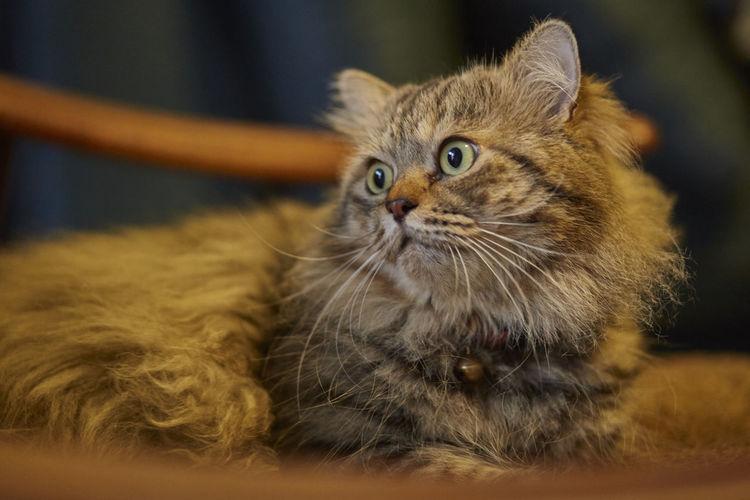 Persian cat in