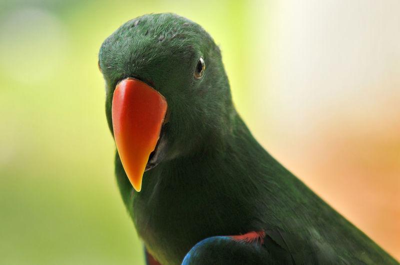 Face Parrot