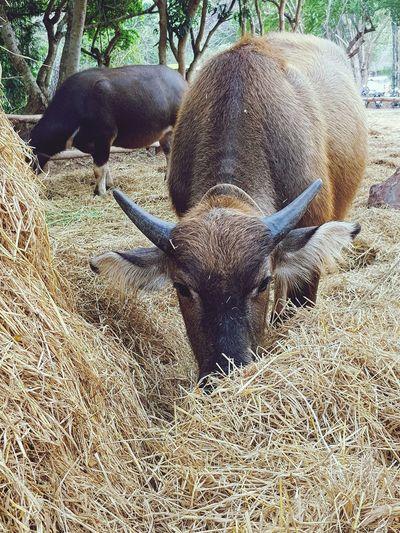 young buffalo Agricultural Buffalo Horns Taming Straw Eating Straw Animal Themes No People Mammal Nature