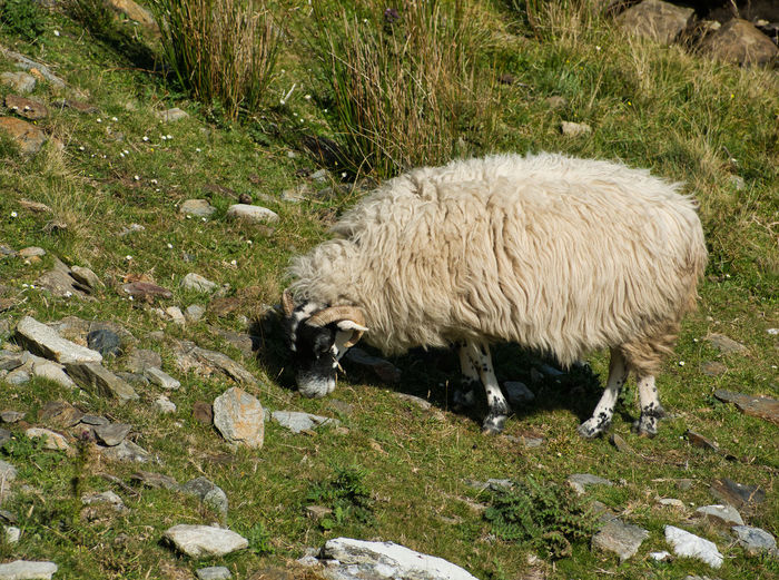 A white sheep with thick fur and black head in the mountains while eating photographed from the side Horns Animal Animal Hair Animal Themes Day Domestic Domestic Animals Field Fleece Grass Land Livestock Mammal Nature No People One Animal Outdoors Pets Plant Sheep Sheep Eating Thick Fur Vertebrate White Color Wool