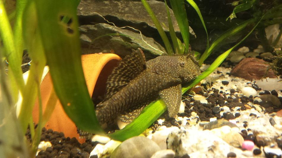 bristlenose plecostamus Bristlenose Bushynose Pleco Tropical Fish Aquarium Pot Plants Water Green Color One Animal Plant Animal Themes No People