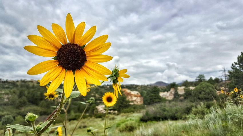 Flower Nature Plant Cloud - Sky Growth Flower Head Sunflower Beauty In Nature Fragility Field Sky Yellow Outdoors Petal Landscape Uncultivated Freshness Day Wildflower Tranquility Nature Greettheoutdoors TheGreatOutdoors Colorado Colorado Photography