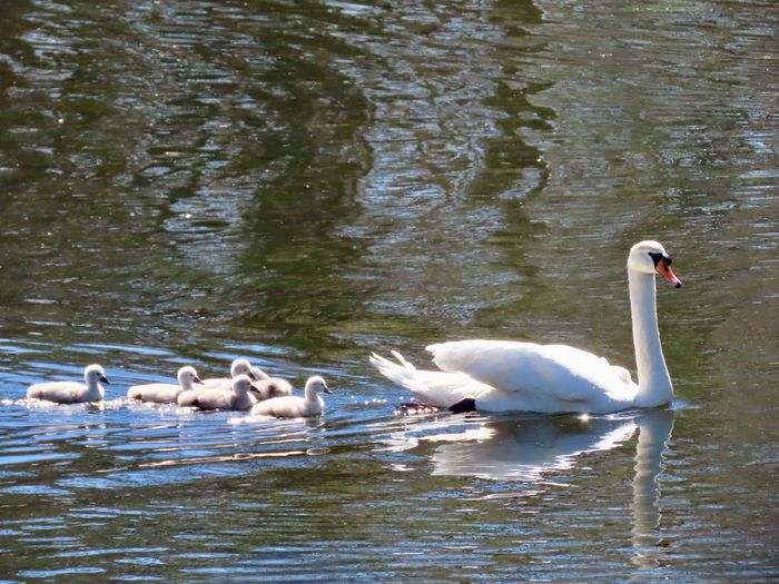 Out for a Sunday swim.. swan family water birds water ripples outdoors beauty in nature birds of EyeEm Animal Themes Bird Water Animal Wildlife No People