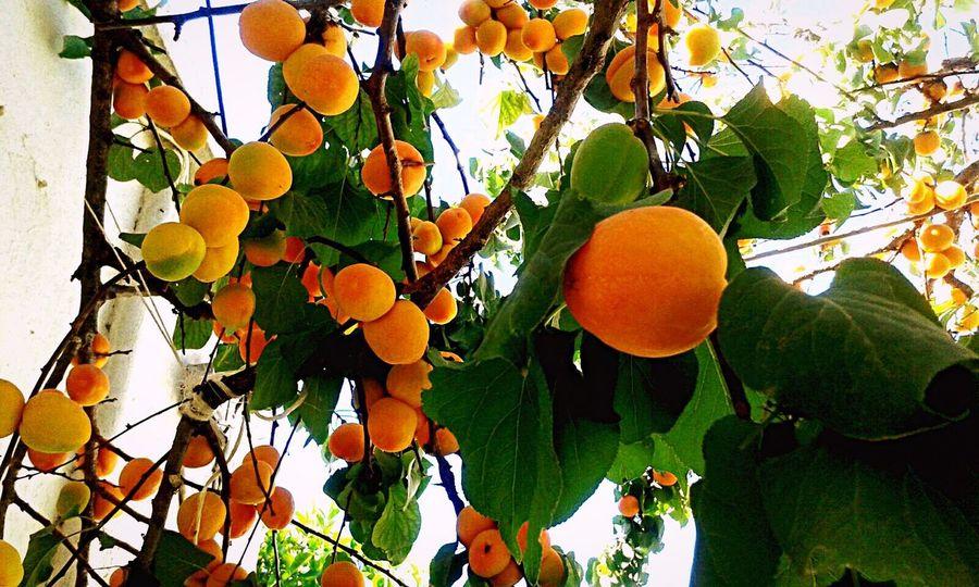 Enjoying Life Nature Apricots Apricot Tree