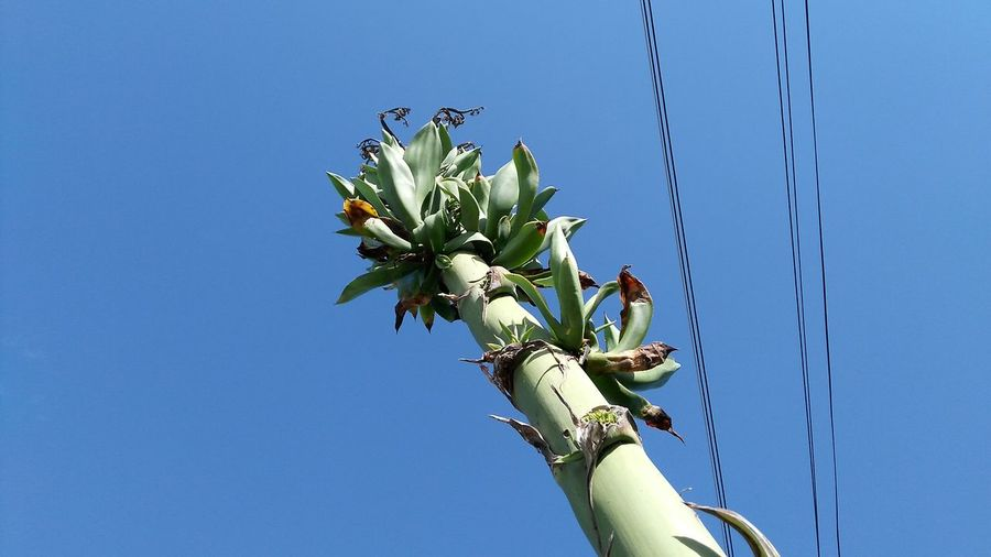 Agave spire EyeEm Selects Blue Flower Day Low Angle View Clear Sky Nature Outdoors Growth Fragility Sky
