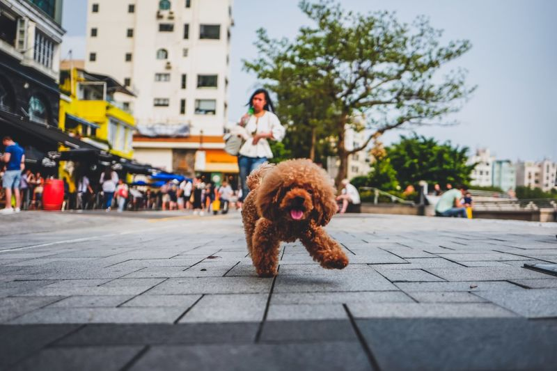 Toy Poodle Walking On Footpath In City
