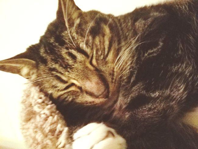 Feline Indoors  Sleepy Catnapping Ramble Fatboy MYS7EDGEPHOTOS