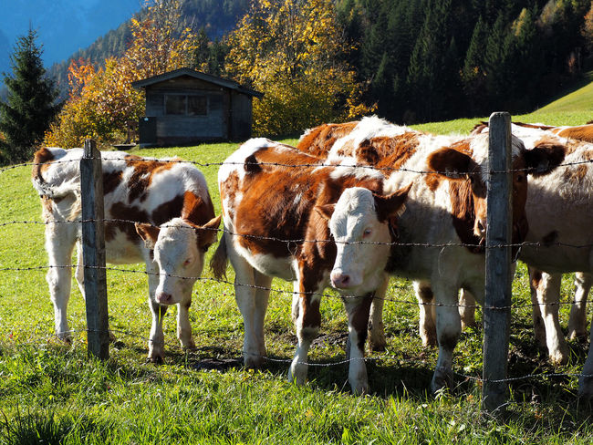 Animal Themes Cow Day Domestic Animals Field Grass Livestock Mammal Nature No People Outdoors Standing Tree