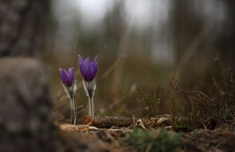 Pasqueflower Pulsatilla Patens Flower Springtime Spring Flowers Purple Rare Endangered Species Rare Beauty Wild Wildflowers Forest