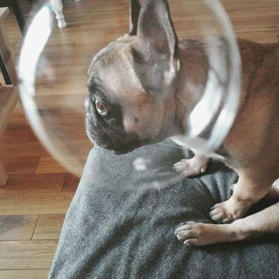 Charlie Frenchie Frenchbulldog Spacedog Soapbubble Astronaut Dog
