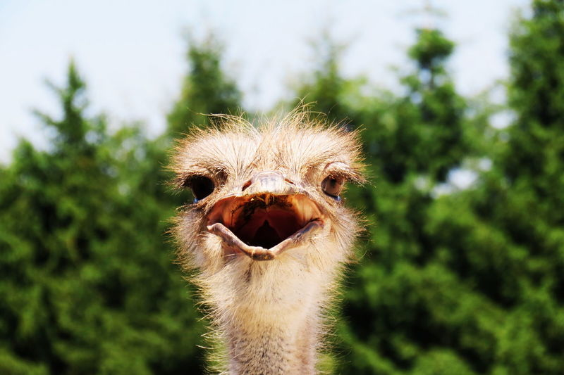 Close-up of ostrich against trees