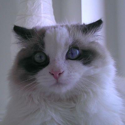 Oh yo voy a ser el Rey León!! Srenrique Gatolicismo Gato Gat reyleon cat