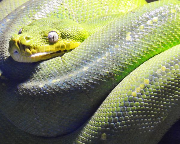 Close up of Green Tree Python Predator Australia Green Tree Python Reptile Animals In The Wild Animal Wildlife Vertebrate Animal Snake Animal Themes One Animal Close-up Animal Body Part Natural Pattern High Angle View Sunlight Full Frame Green Color Nature