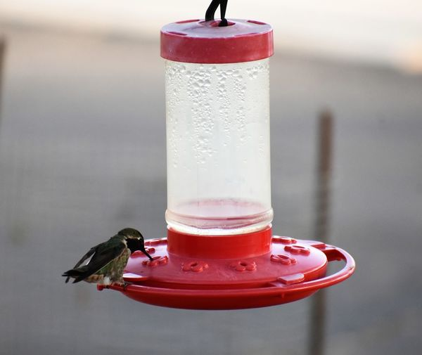 Bird Bird Feeder Black-chinned Hummingbird Close-up Drink Hummingbird No People One Animal Perching