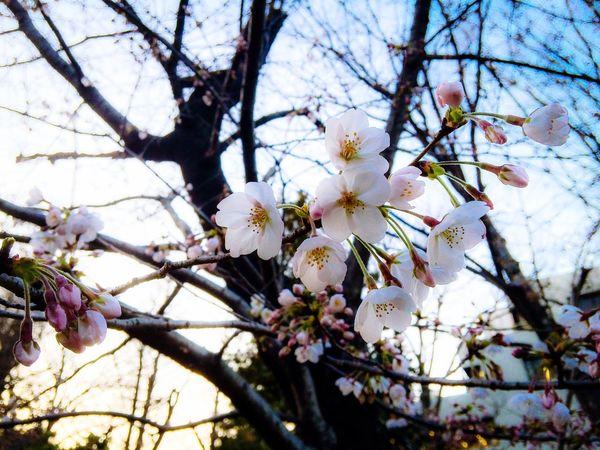 Spring Urban Nature Estrus Exquisite Japan