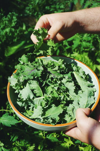 High angle view of hand picking fresh kale in bowl