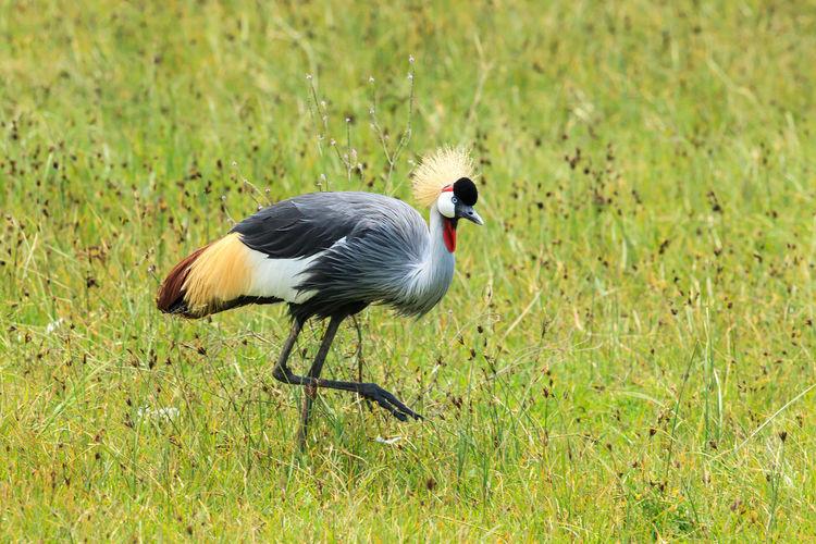 Grey crowned crane on grassy field