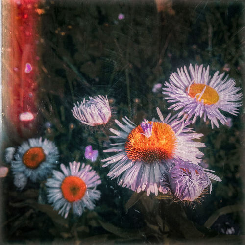 flowers revisited Daisy Daisies Light Leak Dark Vintified Vintage Flower Head Flower Close-up Blooming In Bloom Petal Plant Life Growing Botany Blossom Fragility