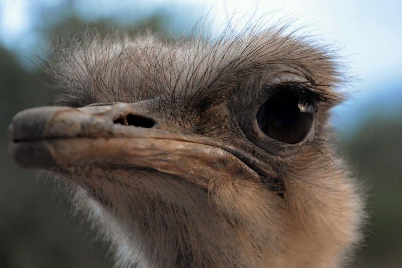 Ostrich One Animal Bird Animal Wildlife Animals In The Wild Animal Body Part Close-up Nature Day Portrait Animal Hair Outdoors Animal Eye Animal Nose