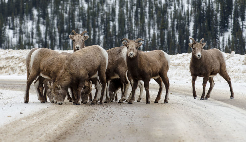 Animal Wildlife Big Horned Sheep Day Group Habitat Herbivorous Human Vs Nature Licking Licking Salt Livestock Loss Mammal Nature Outdoors Road Salt Sharing  Sheep Snow Winter Winter Scene