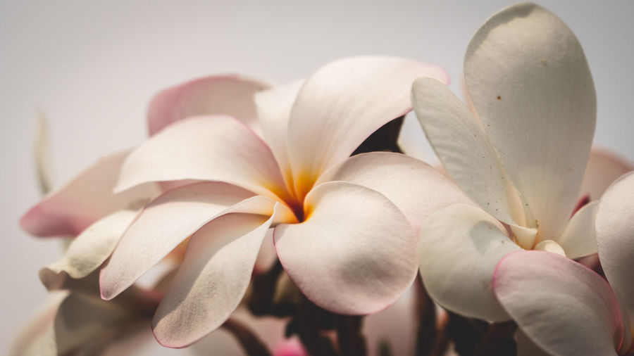"""""""Soft light"""" - Plumeria bloom highlighted by the sun peeking out of the clouds. Plumeria Plumeria Flowers Apocynaceae Frangipani Frangipani Flower Beauty In Nature Natural Beauty Simple Quiet Love Fragility Fragile Beauty Nature Photography Flowering Plant Flower Petal Plant Vulnerability  Freshness Close-up Flower Head Growth No People Nature Focus On Foreground Day Atmospheric Mood Inflorescence White Color Pollen Selective Focus My Best Photo"""