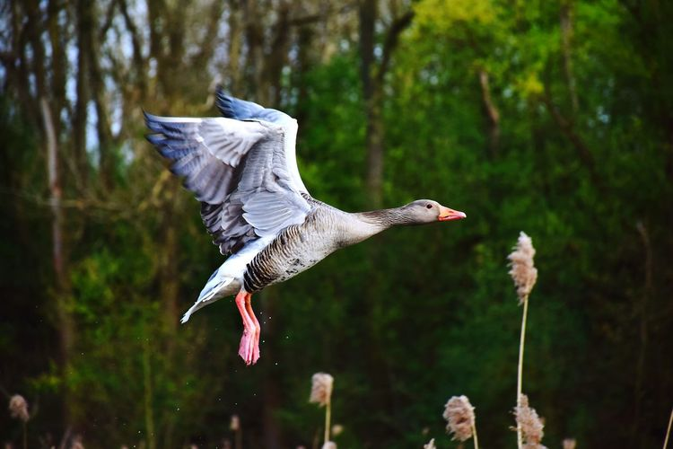 Goose flying against trees