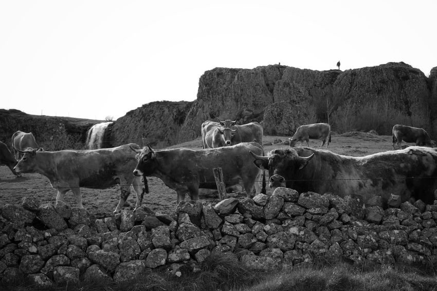 Aubrac Mammal Agriculture Animal Themes Nature Rural Scene Blackandwhite Photography Country Life Country Countryside Bw_lover Bnw_collection Aveyron Black And White Black & White Bw Blackandwhite Rural Noir Et Blanc Bw_collection Landscape Nature Pasture Agriculture Cow Black And White Friday