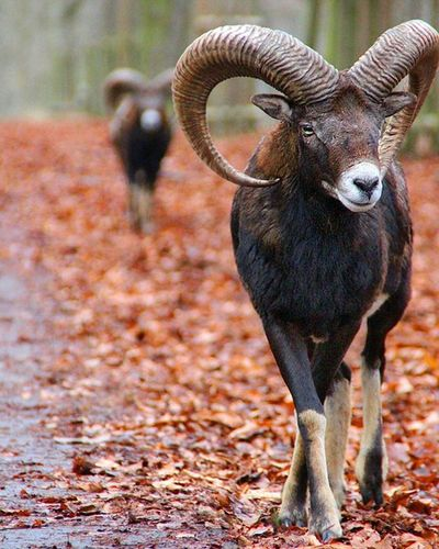 Such a beauty 😍😍 Wildlife Mouflon Nofilter DSLR Canon Landscape Watchthisinstagood Photooftheday Worldbpicture Picture Picstitch  Damwild Instagood Mufflon Lovely Amazing Wildanimals Plants Outdoor Scenery Instalike Views Colorful Focus Light natureporn sheep animals ... https://www.facebook.com/pages/Redhead-Photoart/361778624009885 ... redheadphotoart photographer