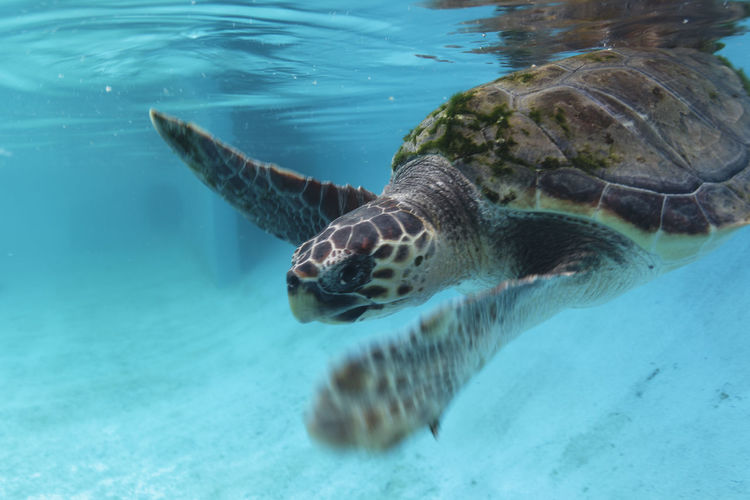 The loggerhead sea turtle from brijuni national park