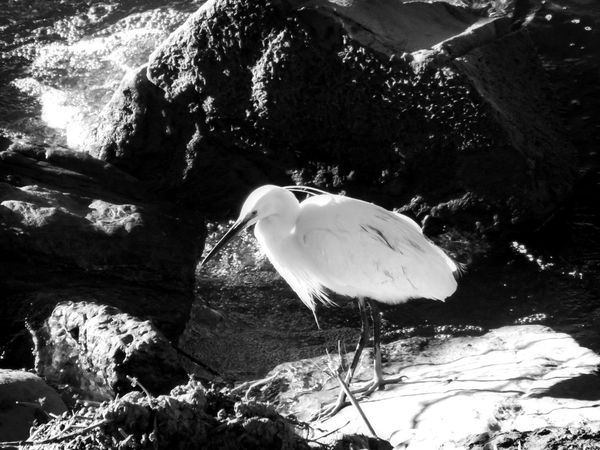 Animal Themes Animal Wildlife Animals In The Wild Beak Beauty In Nature Bird Close-up Day Great Egret Lake Nature No People One Animal Outdoors Perching Water