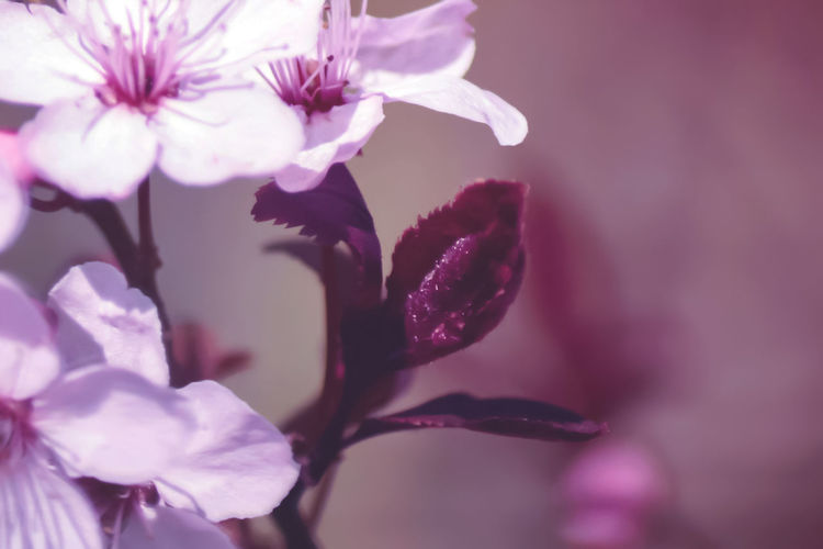 Cherry Leaf Cherry Cherry Tree Love The Color Beauty In Nature Pink Color Plant Flower Head Close-up Nature Fragility Purple Petal Flower Eye4photography  Monochrome No Edit No Fun Freshness Outdoors Spring Tree Spring Flowers Growth Spring Blossoms EyeEm Best Edits Lovelynatureshots