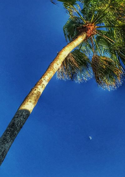 Palm Tree Tree Blue Low Angle View Clear Sky Nature Sky Tree Trunk Growth No People Beauty In Nature Outdoors Day Scenics Palm Frond oh so highly edited Palm with a peek of the moon 🌙 Snapseed and EyeEm editing in vero beach Florida 🇺🇸