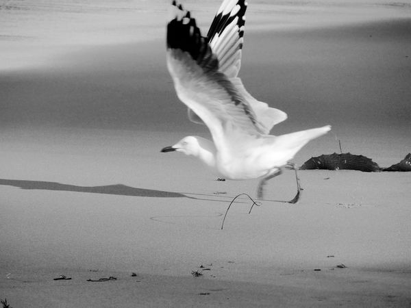 Silver Gull Sea Gull Bird Animals In The Wild Motion Spread Wings Beach Nature Sea Black And White Black And White Photography Nature Photography Beauty In Nature Fly Away Light And Shadow