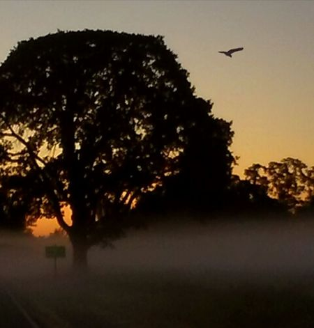 Tree Silhouette Flying No People Outdoors Nature Bird Fog Rural Scene 6amsunrise First Light Morning Light Nature Photos Official EyeEm © I LOVE PHOTOGRAPHY I ❤Oregon Golden Moments  Fragility Gold Colored Sunrise_Collection Sunrise EyeEm Gallery Getty Images Sunlight Foggy Morning Bird Photography Paint The Town Yellow Colour Your Horizn