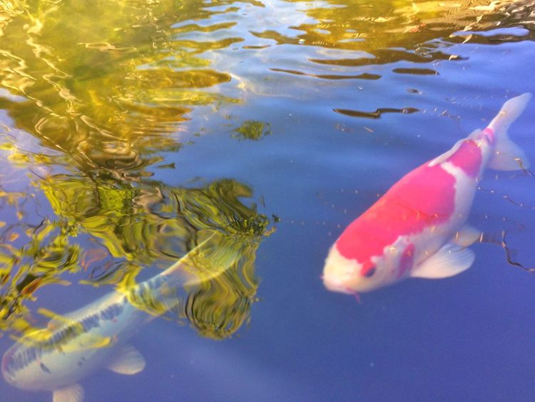 fancy carp fish in pool Colorful Colors Color Animal Garden Nature Water Pool Fancy Carp Fish Fancy Carp Carp Fish Water Swimming Animal Themes Fish Koi Carp Animals In The Wild No People Carp Nature Day Outdoors Underwater