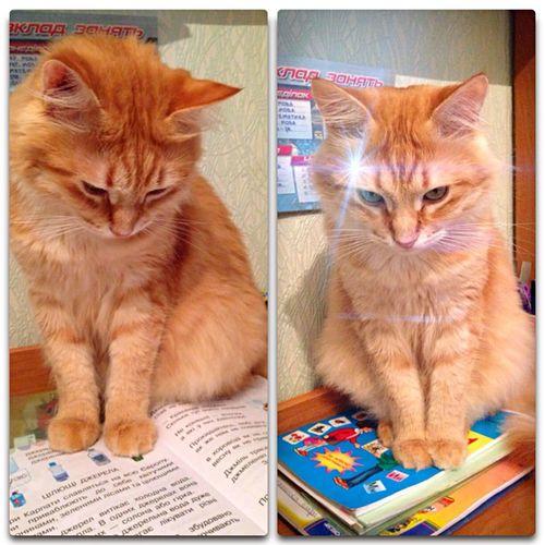 Озарение Cat Afonsiko рыжий кот Афоня Áfonya Cat♡ Cats