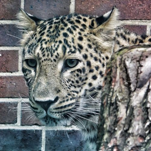 One Animal Looking At Camera Portrait Leopard Day Animals In The Wild Animal Themes Outdoors Animal Wildlife Mammal No People Close-up Nature Leppard