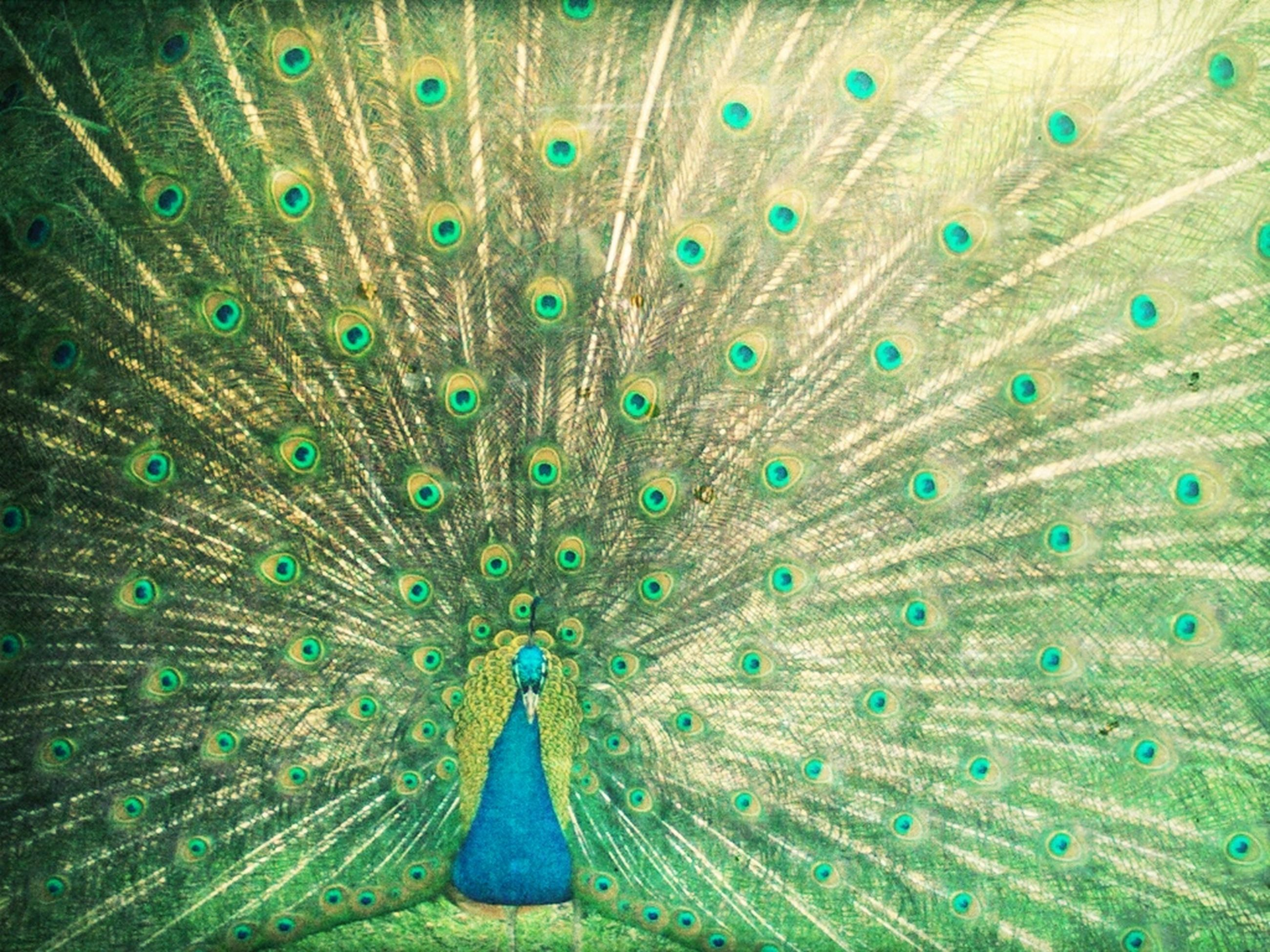 animal themes, peacock, one animal, animals in the wild, wildlife, bird, peacock feather, feather, natural pattern, male animal, close-up, beauty in nature, nature, fanned out, blue, multi colored, full frame, outdoors, backgrounds, animal head