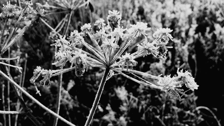 Black And White Friday EyeEm Selects Winter Cold Temperature Snow Nature Frozen Frost Plant Fragility White Color No People Beauty In Nature Close-up Day Outdoors