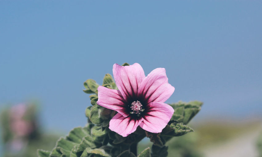 Lavatera Arborea close-up Asturias Beauty In Nature Biology Botany Clear Sky Close-up Day European  Flower Flower Head Focus On Foreground Fragility Freshness Growth Lavatera Arborea Mallow Mallow Flower Malva Nature Outdoors Petal Plant Silvester Sky SPAIN