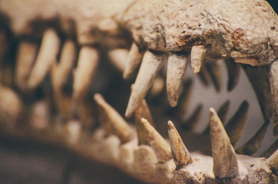Alligator Animal Body Part Animal Head  Animal Themes Bones Close-up Crocodile Day Dinosaur Indoors  Jaw Naturalist Naturalistic Nature People Reptile Scientific Studio Shot Teeth Tooth