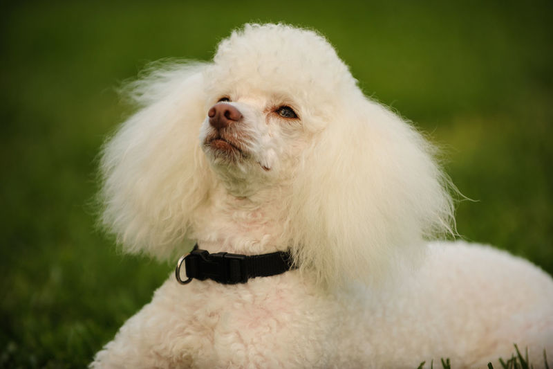 Groomed Poodle Animal Animal Themes Clean Close-up Dog Domestic Animals Looking Up Miniature Miniature Poodle No People One Animal Pets Photography Portrait White Background White Color