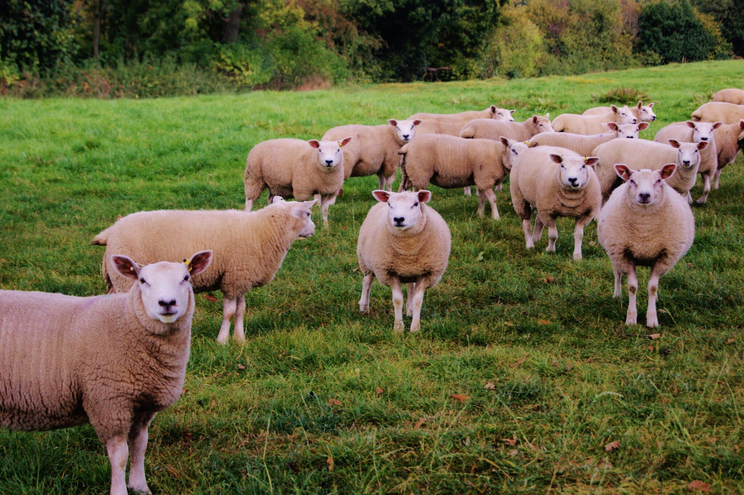animal themes, grass, field, domestic animals, mammal, grassy, livestock, green color, nature, standing, landscape, togetherness, sheep, sunlight, medium group of animals, two animals, day, pasture, no people, outdoors