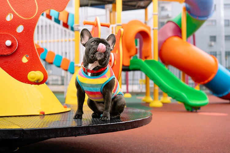 Close-up of brindle french bulldof dog on playground