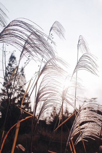 Autumn Reed Wildlife Autumn Collection Sunshine EyeEmNewHere Autumn In The Nature Nature Autumn Mood Sky Plant Nature Low Angle View No People Growth Day Beauty In Nature Outdoors Plant Part Wind