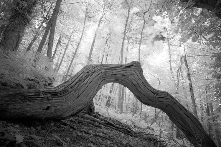 Tilt Shot Of Fallen Tree In Forest