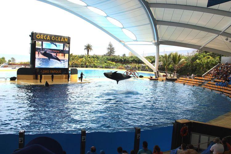 LoroParque Orca Sprung Tennerifa Vorführung Water